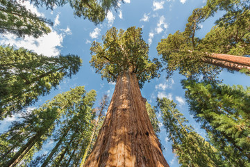World's Largest Redwood Trees in Sequoia National Park, California USA