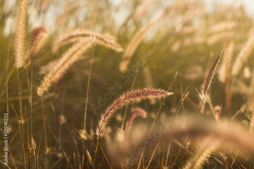 Red and golden grass