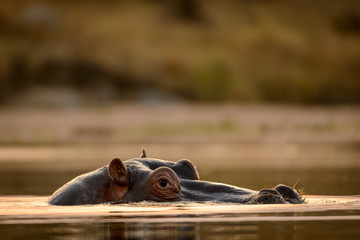 Common hippopotamus or hippo (Hippopotamus amphibius). Blyamiti Waterhole.  Kruger National Park. Mpumalanga. South Africa. Wall mural
