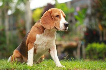 male Beagle dog lying down on floor