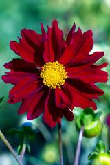 big red dahlia in nature