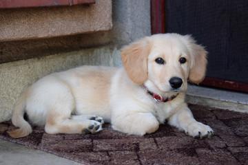 Pupp waiting in front of the door
