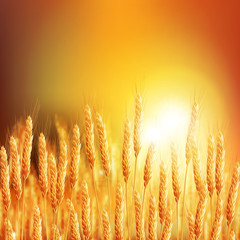 Wheat ears 20161226 2