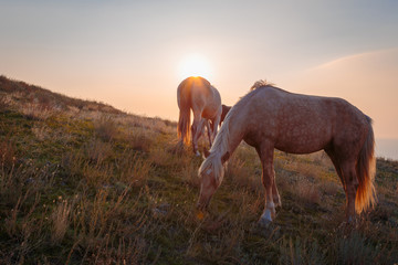 Horse family on pasture at sunrise time..
