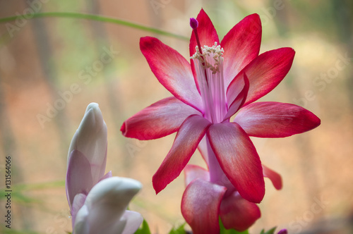 Fleur rose que une plante grasse d 39 int rieur fotos de archivo - Interieur d une fleur ...