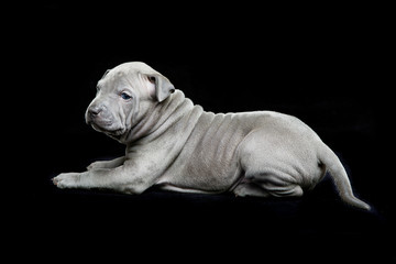 Thai ridgeback puppy on black background