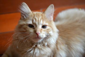Домашний рыжий котенок крупным планом