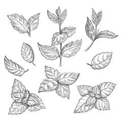 Mint hand sketch vector illustration. Peppermint engraved drawing of menthol leaves isolated on white background