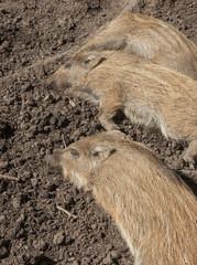 Schlafende Frischlinge, Wildschweine