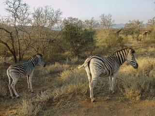 Zebras im Hluhluwe Umfolozi Nationalpark in Südafrika