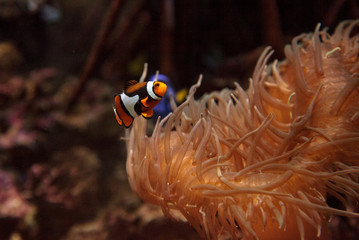 Clownfish, Amphiprioninae, in a marine fish and reef aquarium, staying close to its host anemone