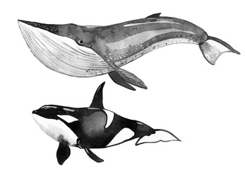 watercolor whale, killer whale