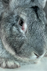 European rabbit or common rabbit, 2 months old, Oryctolagus cuniculus against gray background