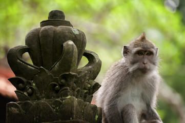 Balinese long-tailed monkey. The Ubud Monkey Forest is a nature reserve and Hindu temple complex in Ubud, Bali, Indonesia. There are about 600 monkeys living in this area. Also called macaque monkeys.