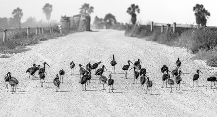 A black ibises in the Maagan Michael kibutz - Israel (black and white)