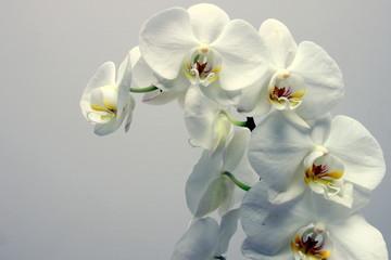 Fototapeta storczyk (orchidea)