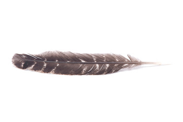 Grade A barred turkey smudging feather isolated on white background