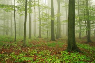 Forest of Beech Trees in Fog and Rain
