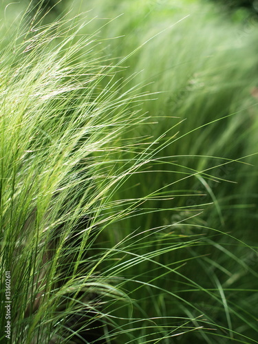 feather grass 39 stipa 39 in the sunlight stockfotos und. Black Bedroom Furniture Sets. Home Design Ideas