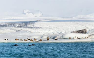 Three seals swimming by group of eider ducks on floating iceberg at the base of a glacier