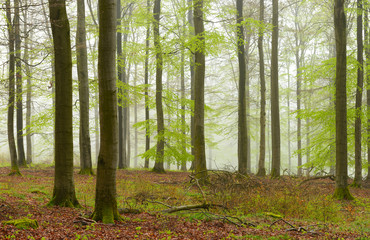 Forest of Beech Trees in Fog, early spring, fresh green leaves
