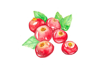 Cranberry, watercolor painting isolated on white background