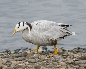 Bar-headed Goose, Anser indicus, close-up portrait on stone shore of pond, selective focus, shallow DOF