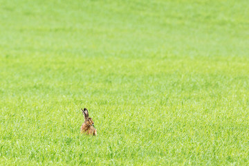 Hare sitting and eating grass