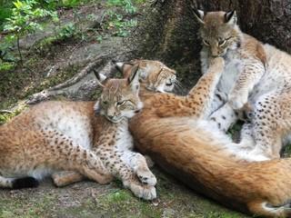 Luchsfamilie kuschelt (Lynx lynx) im Wald