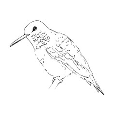 Hummingbird. Black line bird sketch isolated on white background. Vector drawing of colibri for greeting cards, invitations, prints, web projects. Hand drawn illustration.