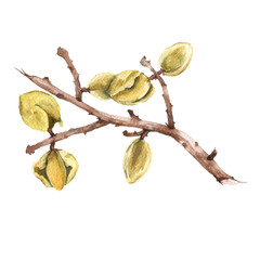The branch of the almond. Isolated on a white background. Watercolor illustration.