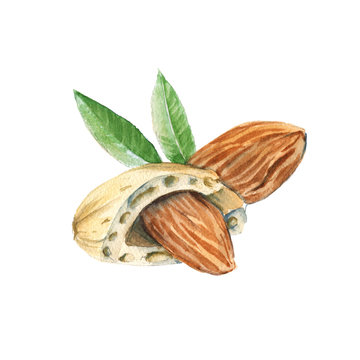 Almond kernels. Isolated on a white background. Watercolor illustration.