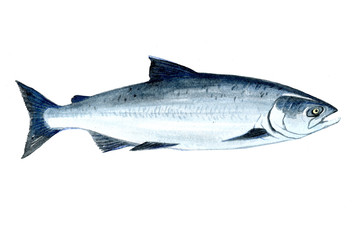 Watercolor single salmon fish isolated on a white background illustration.