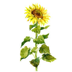 Watercolor single sunflower isolated on a white background illustration.