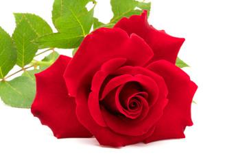 Closeup of beautiful red rose