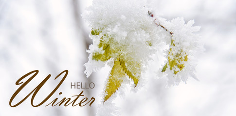 Hello Winter Banner With Green Leaves Of Wild Rose Covered With Hoar Frost.  Winter