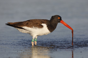 American Oystercatcher eating a worm in a Florida tidal pool