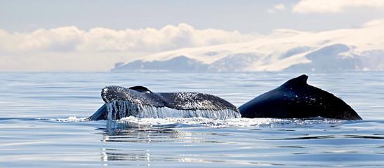 Foto auf Gartenposter Antarktika Beautiful view of icebergs and whale in Antarctica