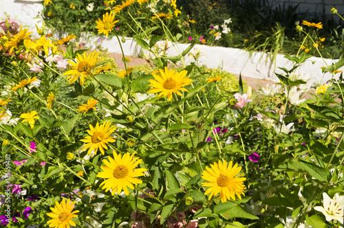 """красивые желтые цветы на клумбе"" Stock photo and royalty ..."