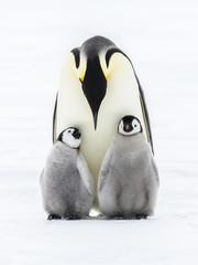 Fototapeta Emperor penguins on the frozen Weddell sea obraz