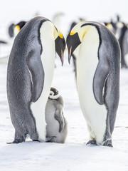 Emperor Penguins on the frozen Weddell sea