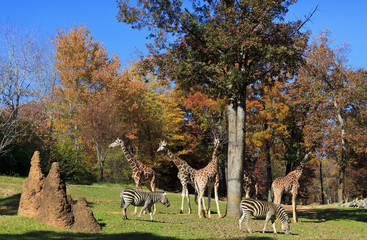 Giraffes and Zebras at the Asheboro Zoo in North Carolina