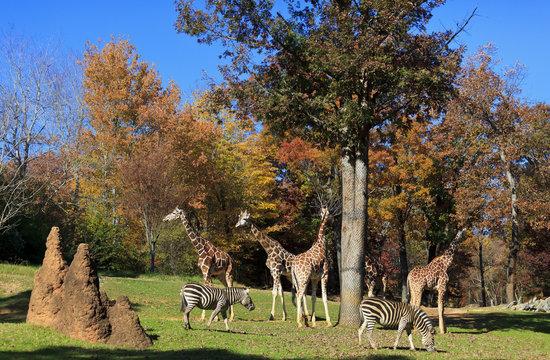 Giraffes and Zebras at the Asheboro Zoo in North Carolina