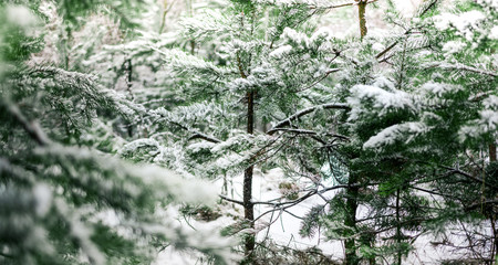 snow-covered fir tree in the forest