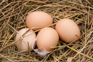 Four chicken eggs lying in the hay