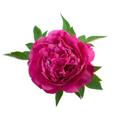 peony flower pink color isolated on white