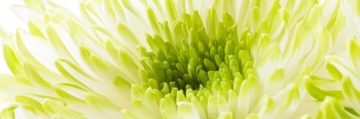 Chrysantheme - Banner