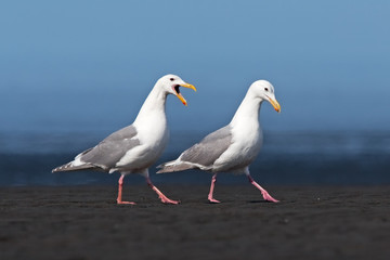 glaucous-winged gull, larus glaucescens