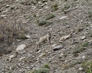 Two Bighorn Sheep Babies