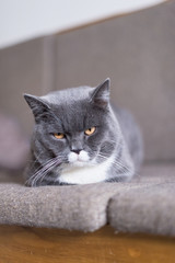 The British Shorthair cat, taken indoors